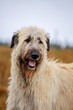 Irish Wolfhound on the autumn meadow