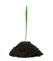 Weizenspross wächst aus eimem Häufchen Erde