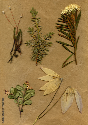 vintage herbarium background on old paper