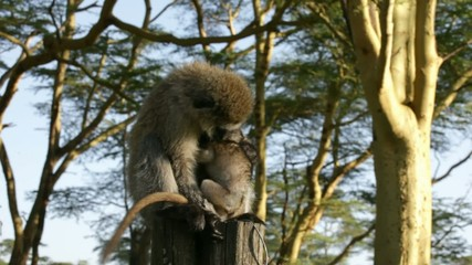 mother and baby  Vervet Monkey in Nakuru NP, kenya