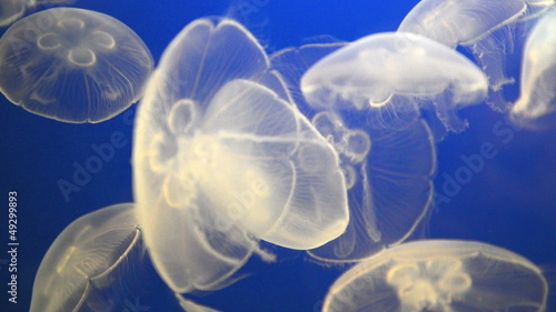 White jellyfish (Moon jelly) in blue ocean water