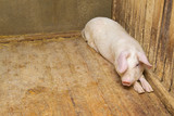 pigs lying on the floor