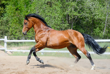 Bay horse of Ukrainian riding breed in motion