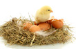 beautiful little chicken, eggs and eggshell in nest, isolated