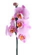 beautiful pink orchid, isolated on white
