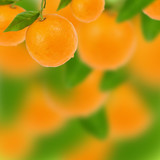Fototapeta drzewo - cytrusowych - Owoc