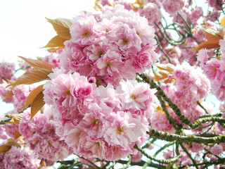 Pink Japanese cherry blossoms