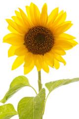 Nahaufnahme Sonnenblume