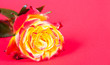 Rose auf rotem Hintergrund