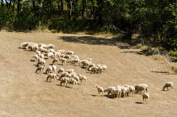 Troupeau de mouton