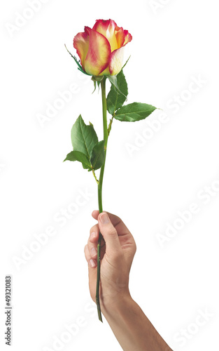 beautiful rose flower in hand men isolated on white background