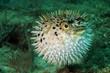 Blowfish or puffer fish in ocean - 49321225