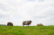 Sheep on the grass dike
