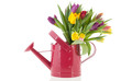 Watering can with bouquet tulips