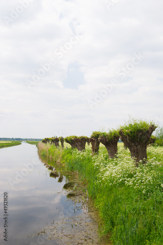 Row pollard willows and cow parsley