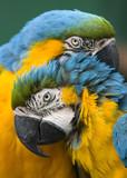 Fototapeta papuga - miłość - Ptak