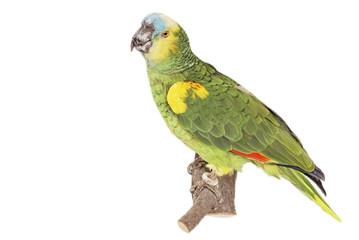 Blaustirnamazone (Amazona aestiva)