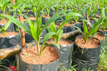 baby oil palm tree in nursery house