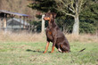 Dobermann beim Training