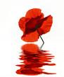 Poppy with flood, Mohn mit Spiegelung