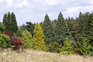 Contrasting conifers