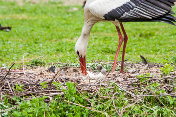 Mother stork feeding its youngs