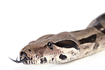 Portrait of Boa snake closeup