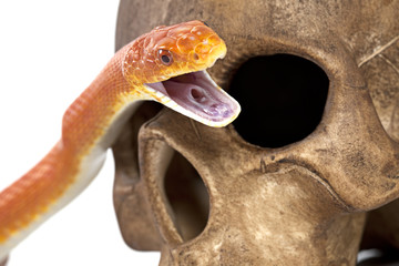 Texas rat snake with human skull