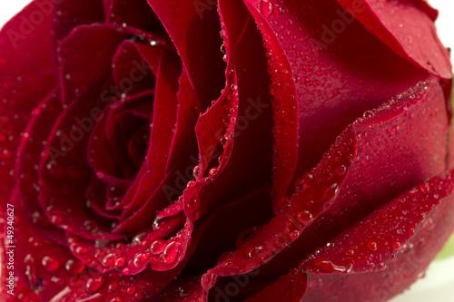 red Rose © dimakp