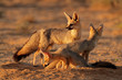 Cape fox family, Kalahari desert