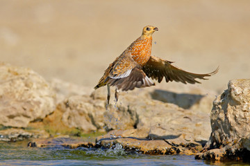Sandgrouse in flight, Kalahari desert
