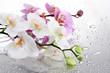 Fototapeten,rosa,weiß,schöner,orchid