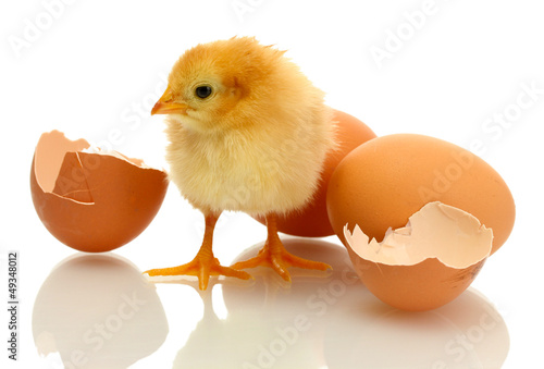 beautiful little chicken, eggshell and eggs isolated