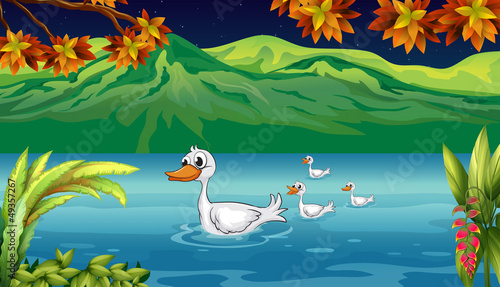 The mother duck and her ducklings in the river