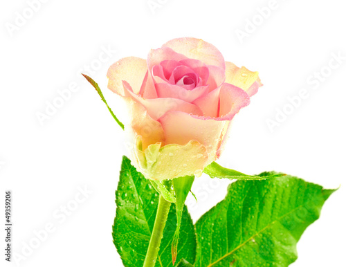 Single Pink Bicolor Rose with Waterdrops
