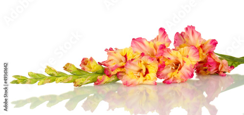 branch of yellow-pink gladiolus on white background close-up