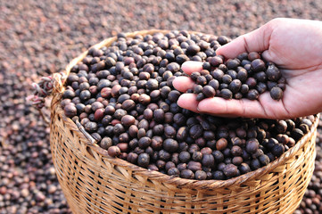 Close up dried  berries coffee beans on hand