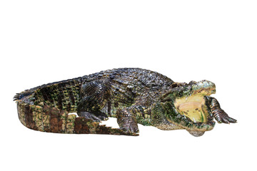 Crocodile isolated on white with clipping path