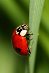 Ladybird on green grass. macro