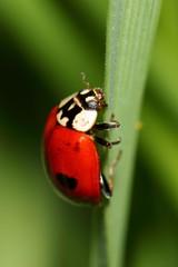Ladybird on green grass. macro