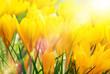 Gelbe Kokusse in der Sonne