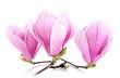 Drei Magnolienblüten auf weiß