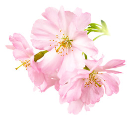 Freigestellte Kirschblüten