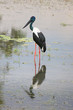 Australian jabiru bird by the Alligator River in Kakadu national