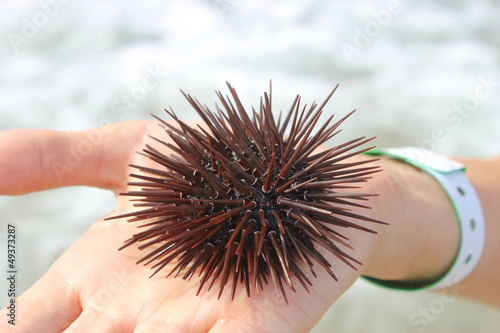 Sea urchin on the palm
