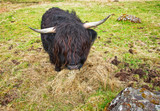 Black Cow in Scotland
