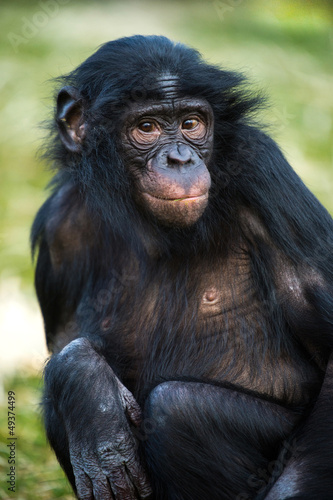 Foto op Canvas Aap Bonobo Chimp