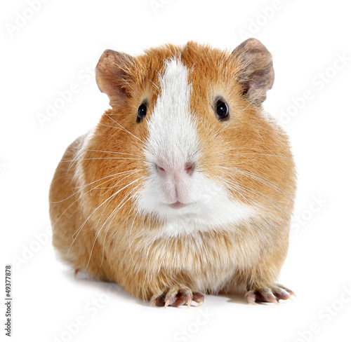 Guinea pig little pet rodent