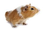 Guinea pig little pet rodent poster