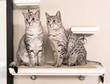 Two Cute Egyptian Mau Cats Sitting on a Shelf